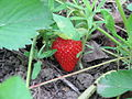 Organic strawberry in Romania.jpg