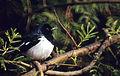 Oriental Magpie Robin (Copsychus saularis) (20963950951).jpg