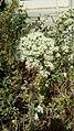 Origanum vulgare - Ορίγανον το κοινόν 02.jpg