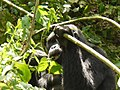 Oruzogo Mountain Gorilla (6734903037).jpg