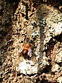 Osmia bicornis 123564677.jpg
