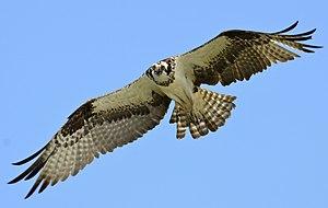Western osprey - In flight, over Lake Wylie, South Carolina