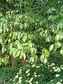 Ostrya virginiana BotGardBln07122011A.JPG