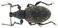 Otiorhynchus sulcatus (Fabricius, 1775) (10496621236).png