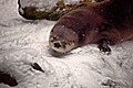 Otter-coming-out-den-winter-snow - Virginia - ForestWander.jpg