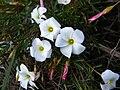 Oxalis versicolor Rondebosch Common.jpg