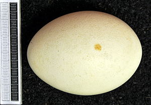 White-headed duck - Egg, collection Museum Wiesbaden