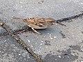 Pájaro Sparrow.jpg