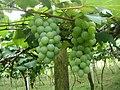 Pé de uva - panoramio.jpg