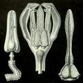 Pédicellaires (Haeckel).png