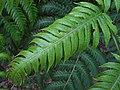 Píjara (Woodwardia radicans).JPG