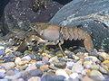 Pacifastacus leniusculus1.jpg