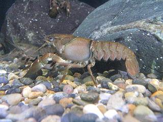 <i>Pacifastacus</i> genus of crustaceans