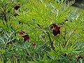 Paeonia delavayi Piwonia Delavaya 2015-05-17 01.jpg