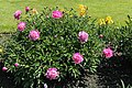 Paeonia lactiflora in Breslau.jpg