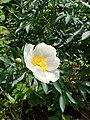 Paeonia lactiflora kz02.jpg