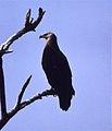 Pallas's Fish Eagle (Haliaeetus leucoryphus) (20202356625).jpg