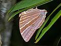 Palm King (Amathusia phidippus) (8441693842).jpg