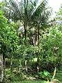 Palma Manaca (5840534826).jpg