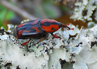 Rhynchophorus cruentatus - Image: Palmettoweevil