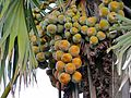 Palmyra Palm Fruits (Borassus aethiopum) (6936992546).jpg