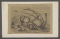Paludina vivipara - - Print - Iconographia Zoologica - Special Collections University of Amsterdam - UBAINV0274 082 26 0003.tif