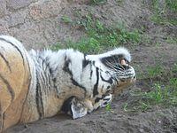 Panthera tigris2