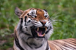 Franklin Park Zoo - Image: Panthera tigris Franklin Park Zoo, Massachusetts, USA 8a (1)