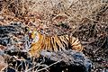 Panthera tigris tigris pench india.jpg
