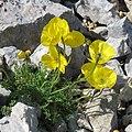 Papaver alpinum subsp kerneri 2 RF.jpg