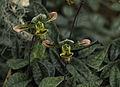 Paphiopedilum venustum dans la grande serre.jpg