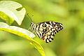 Papilio demoleus 8309.JPG