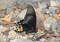 Papilio forbesi (24457975831).jpg