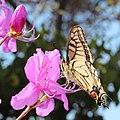 Papilio machaon on Rhododendron dilatatum.JPG