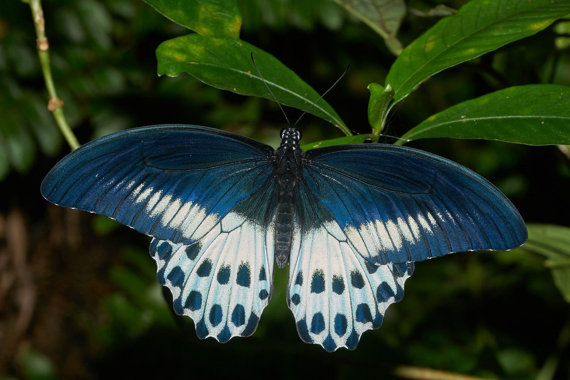 Papilio polymnestor - ...