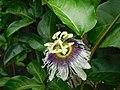 Passiflora edulis flavicarpa (inflorescence, Grenadille jaune).jpg