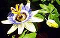 Passionsblume - Collage der Blütenöffnung (3).jpg