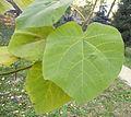 Paulownia tomentosa (5).JPG