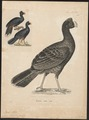 Pauxi mitu - 1700-1880 - Print - Iconographia Zoologica - Special Collections University of Amsterdam - UBA01 IZ16900091.tif