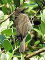 Paxaro.bird.GFDL987.jpg