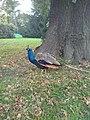 Peacock at Kew Gardens.jpg