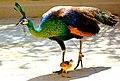 Peacocks 777.jpg