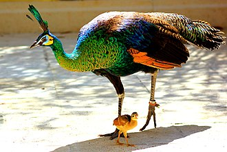 Green peafowl - Female (peahen) with one chick