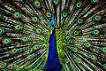 Peafowl hyd.jpg