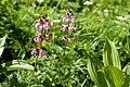 Pedicularis chamissonis var. japonica 11.jpg