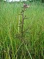 Pedicularis palustris.jpeg