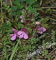 Pedicularis sp. (a lousewort) - Flickr - S. Rae.jpg