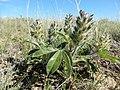 Pediomelum (Psoralea) esculentum (26977231054).jpg