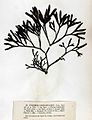 Pelvetia canaliculata Crouan.jpg