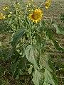 Perennial sunflower1.jpg